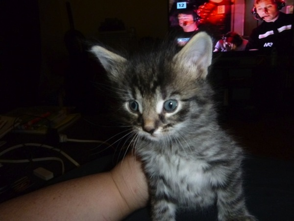 Warrior. resuce kitten, oasisanimalrescue.ca