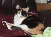 Brandie. cat for adoption. Oasis Animal Rescue, Durham Region, Ontario