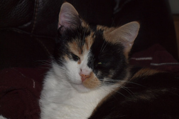 Brandie. cat for adoption. Oasis Animal Rescue, Durham Region, Ontario