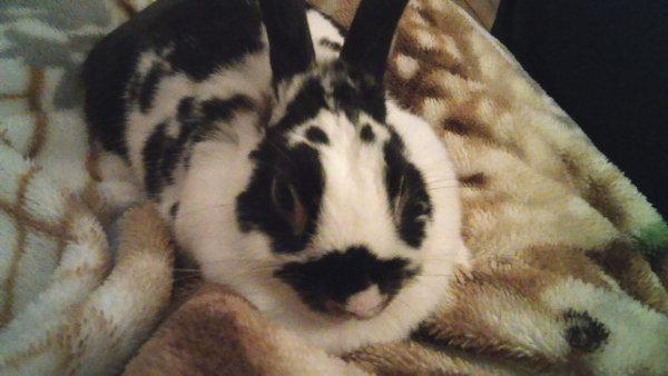 Dakota - rabbit for adoption. Oasis Animal Rescue