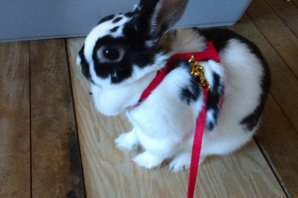 Dakota the rabbit goes for a walk.