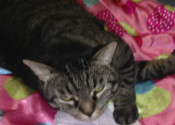 Devine Miss M. Talkative cat for adoption. Oasis Animal Rescue