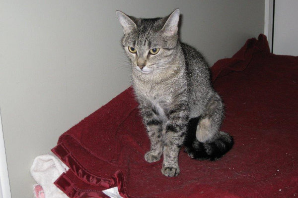 Olivia. Cat for adoption. Toronto, GTA, Durhan Region