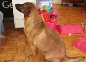 Boomer - dog for adoption. Oasis Animal Rescue, Toronto GTA / Durham Region