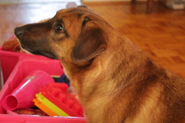 Dog Rescue Adoption Gta