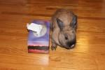 Nibbler. Dwarf Rabbit, Litter-Trained, Finds New Home