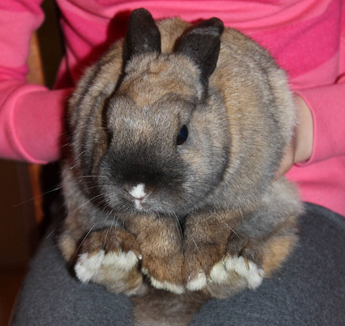 Nibbler. Rabbit for adoption. Oasis Animal Rescue, Toronto, GTA, Durham