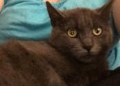 Smokey. Kittens due soon. Contact Oasis for rescue kitten adoption, GTA, Toronto, Durham