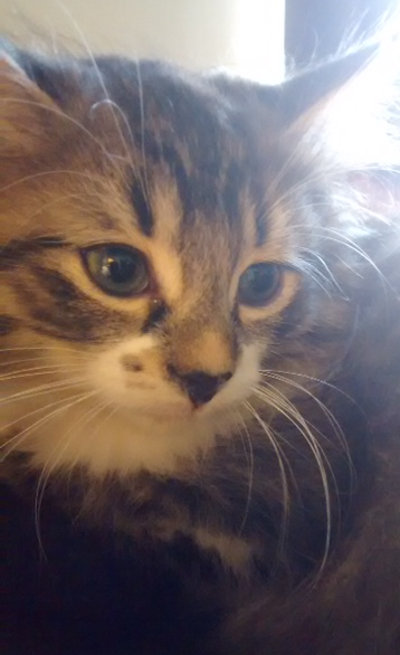 Curly. Adoptable kittens. Durham Region, Toronto GTA pet adoption