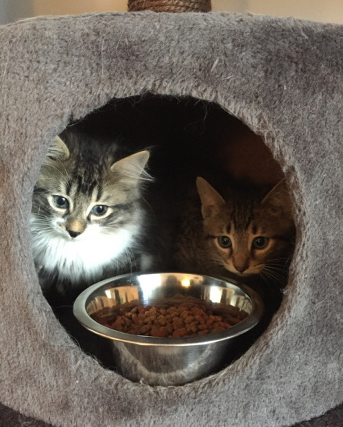 Curly and Moe. Adoptable kittens. Durham Region, Toronto GTA pet adoption
