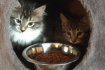 Curly And Moe. Energetic, Playful Kittens Successfully Adopted
