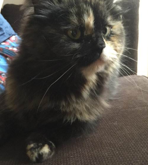Melanie. Cat for adoption. Oasis Animal Rescue. GTA, Toronto, Durham Region
