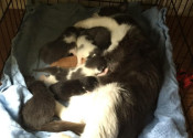 Molly Nursing Her Kittens and Brin's three kittens too! Rescue Kitten adoption. Oasis Animal Rescue.
