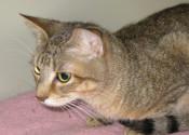 Pluto. Cat for adoption. Oasis Animal Rescue