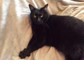 Sable. Friendly cat for adoption. Oasis Animal Rescue, GTA, Toronto, Durham Region cat adoption