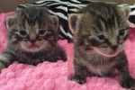 Buttertart And Sweetie Pie. Orphan Kittens Seeking Forever Homes