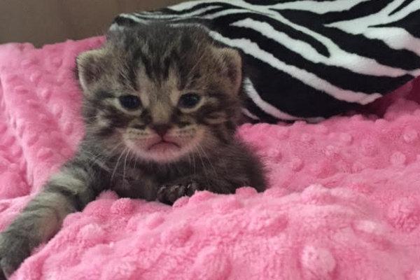 Sweetie Pie. Rescue kittens for adoption. GTA, Toronto, Durham Region