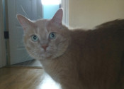 Tiger. Cat for adoption. Oasis Animal Rescue. GTA, Toronto, Durham Region pet adoption