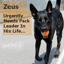 Zeus. Rescue Dog Needs Urgent Pack Leader Help