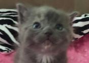 Cutie. Rescue kitten for adoption. GTA Toronto Durham