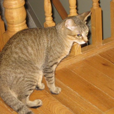 Pluto. Cat for adoption. Oasis Animal Rescue, GTA Toronto Durham Region pet adoption