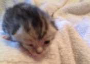 Tyrone. Kitten for adoption. GTA Toronto, Durham rescue pet adoption