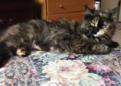 Melanie. Cat for adoption. Oasis Animal Rescue. GTA Toronto Durham Region