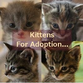 Kittens for adoption. Oasis Animal Rescue, GTA Toronto Durham Region