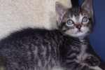 Scottie. Male Kitten Finds His Loving, Forever Home