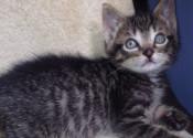 Scottie. Kitten for adoption. Oasis Animal Rescue. GTA Toronto Durham