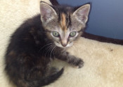 Bernie. Rescue kitten Oasis Animal Rescue. GTA Durham Region Toronto