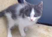 Grayson. Rescue kitten for adoption. GTA Toronto Durham rescue pet adopt