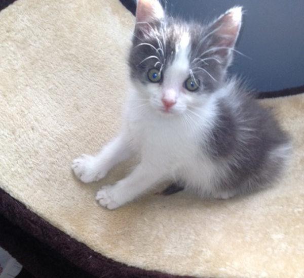 Grayson. Rescue kitten for adoption. GTA Toronto Durham rescue pet adopt