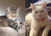 Henry and Heidi. Cats for adoption. Oasisi Animal Rescue, GTA Toronto, Durham Region