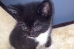Rhett. Happy, Forever Home Sought By Playful Kitten
