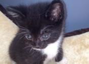 Rhett. Rescue kitten, male, for adoption.