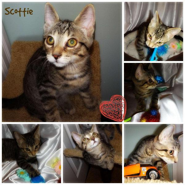 Kitten for adoption. Contact Oasis Animal Rescue, Toronto GTA, Durham Region