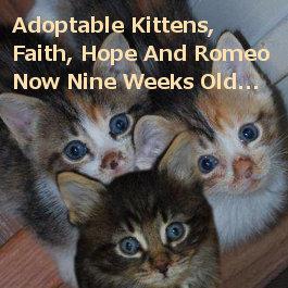 Faith Hope Romeo. Adoptable kittens, Oasis Animal Rescue, Toronto GTA