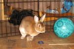 Suki. 12 Month Old Castor Mini Rex Rabbit Finds New ..