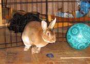Suki. Rabbit for adoption. GTA Toronto, Durham Region, Oasis Animal Rescue