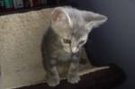 Zevy. Female Kitten Ready For A Forever Home