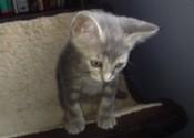 Zevy. Kitten for adoption. Oasis Animal Rescue, GTA Toronto Durham Region