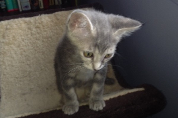 Zevy. Kitten for adoption. Oasis Animal Rescue, GTA Toronto Durham Region