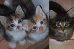 Faith, Hope And Romeo. Cardboard Box Kittens – All Adopted