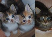 Kittens for adoption. Oasis Animal Rescue. GTA Toronto, Durham Region