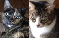 Cats for adoption. GTA Toronto, Durham Region