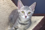 Huguette. Beautiful Female Kitten – ADOPTED