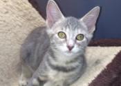 Huguette. Kitten for adoption. Oasis Animal Rescue