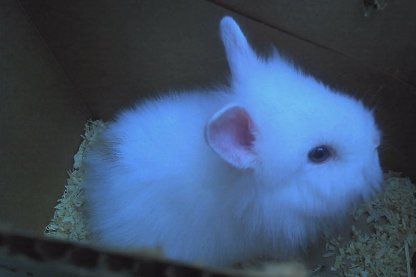Maybelline. Rabbit for adoption. Lionhead breed. GTA Toronto Durham Region
