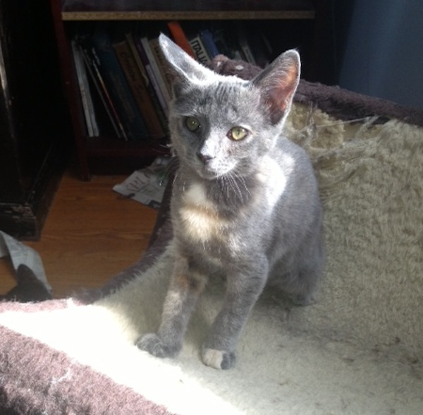Adoptable kitten named Zevy. oasisanimalrescue.ca Toronto GTA